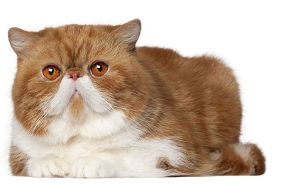 Exotic Shorthair cat, 2 and a half years old, lying in front of