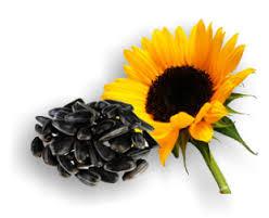 kak-pravilno-vybrat-semena-podsolnechnika