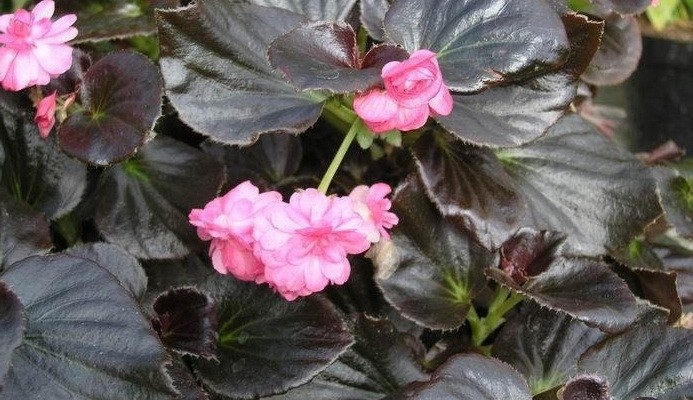 Begoniya-vechnotsvetushhaya-Begonia-x-semperflorens-cultorum